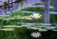 Gift Baskets & Cards - BIH Collection - Taba Photography Greeting Card- Water Lilies
