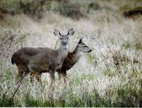 Gift Baskets & Cards - BIH Collection - Taba Photography Greeting Card- Deer in Meadow